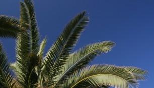 Palmier de la plage de Menton
